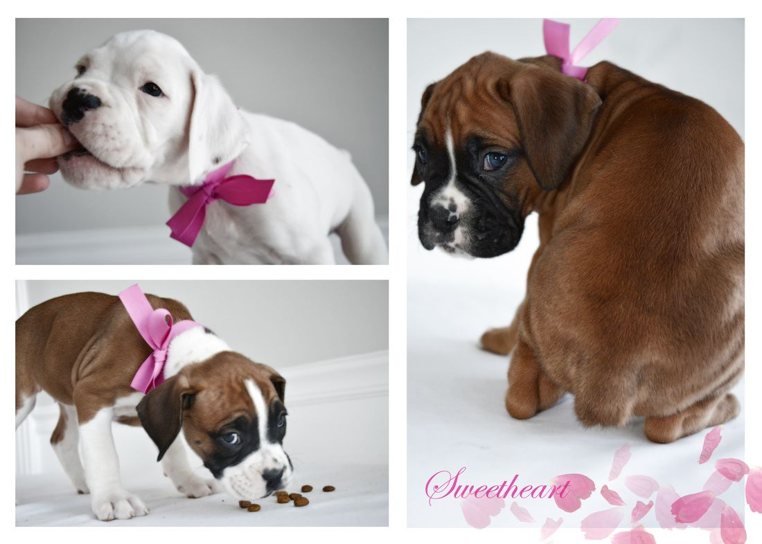 I Just Want To Share With You A Part Of My Life Boxer Puppies I Love Puppies And I Love To Take A Pictures Of Them Boxer Dogs Funny Boxer