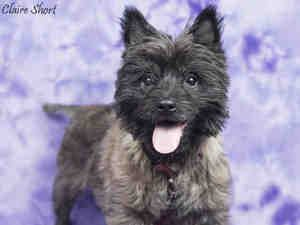 Poppy Is An Adoptable Cairn Terrier Dog In Santa Rosa Ca Hi I Am
