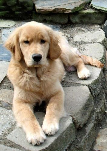 Find Out More On The Friendly Golden Retriever Size