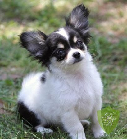 Puppies For Sale San Diego Chihuahua Breeders Chihuahua