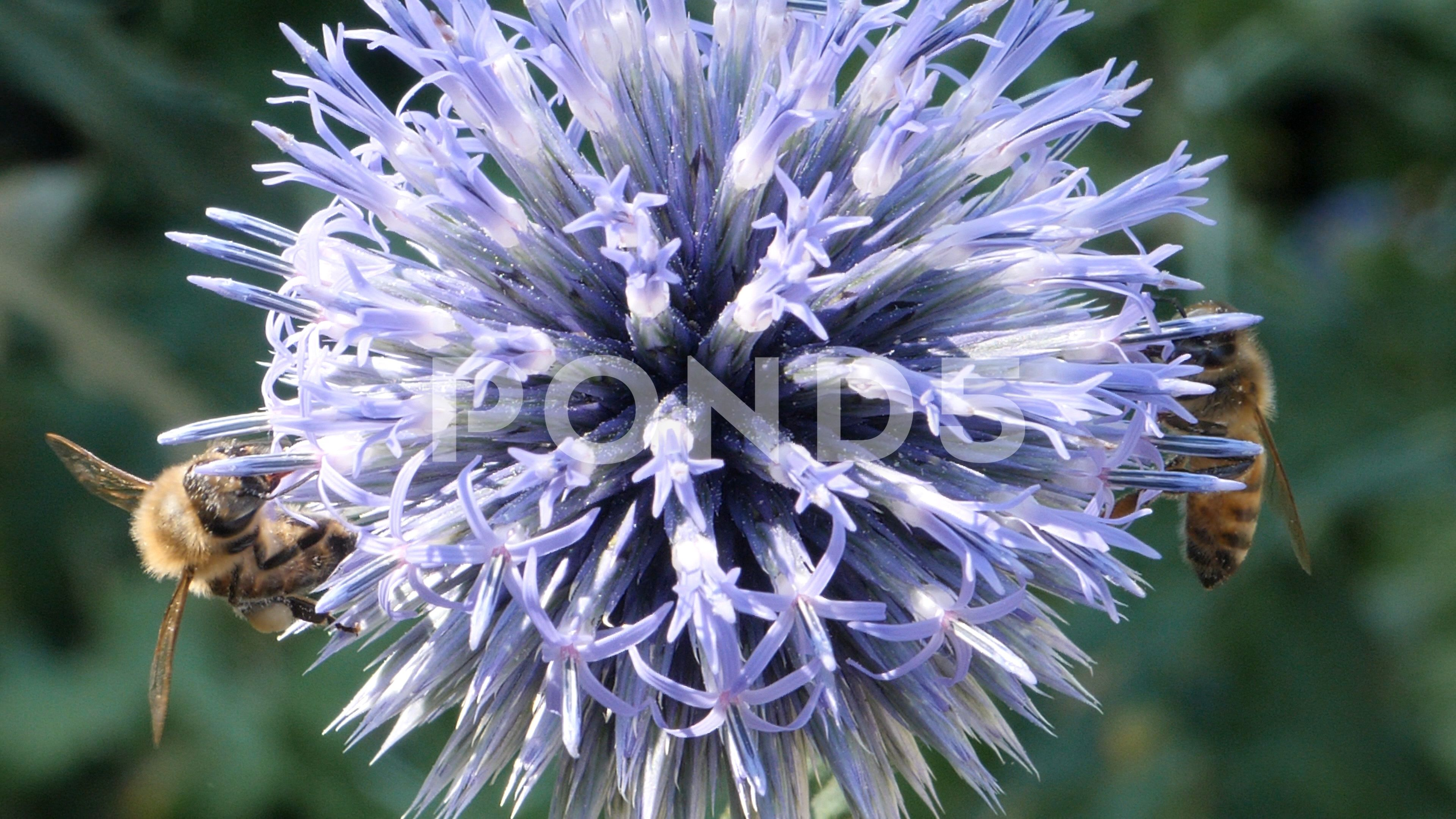 Macro Two Bees On Thistle Flower 4k Stock Footage By Gdmpro