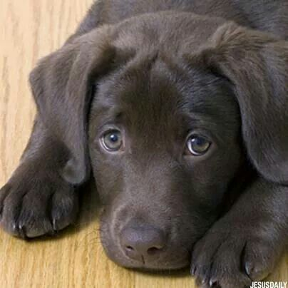 Pin By Lakeesha Butler On Pets Cute Labrador Puppies Labrador Puppy Training Chocolate Lab Puppies