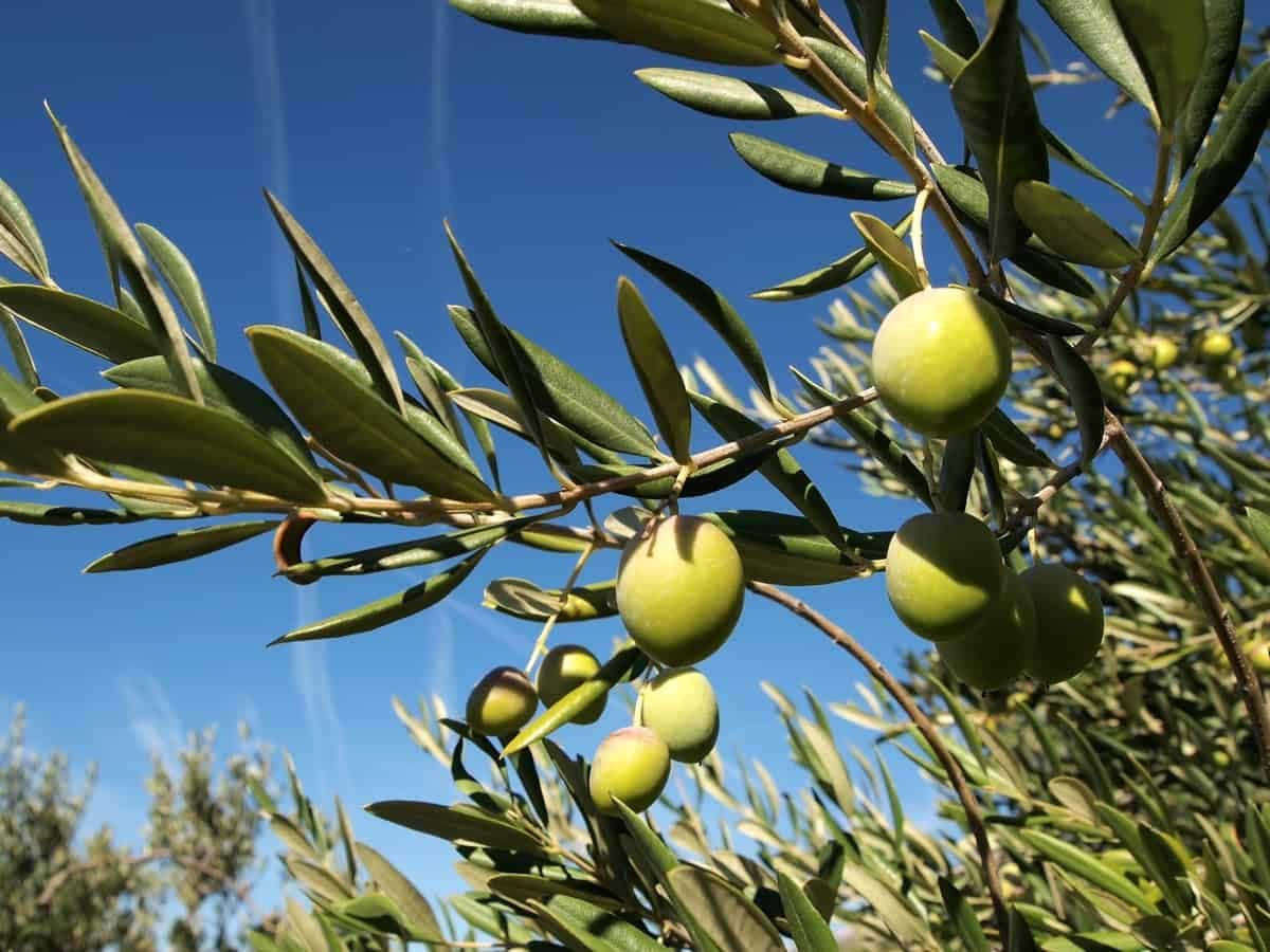 10 Fruit Trees You Can Easily Grow In A Pot Or Container Growing Olive Trees Potted Olive Tree Fruit Tree Garden