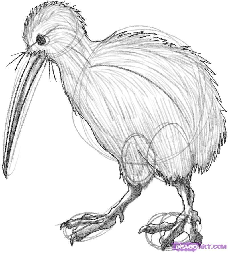 How To Draw A Kiwi How To Draw Pinterest Bird Drawings Bird