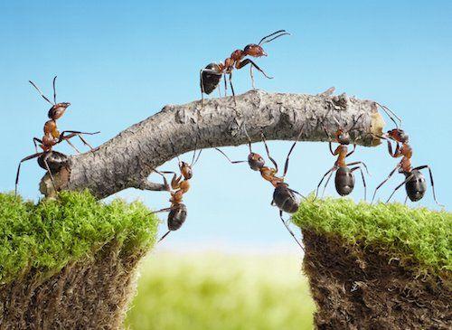 les fourmis sont tr s intelligentes et peuvent coloniser. Black Bedroom Furniture Sets. Home Design Ideas