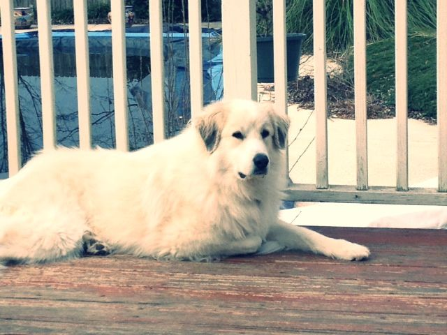 Great Pyreneese Great Pyreneese Great Pyrenees Dog Dogs