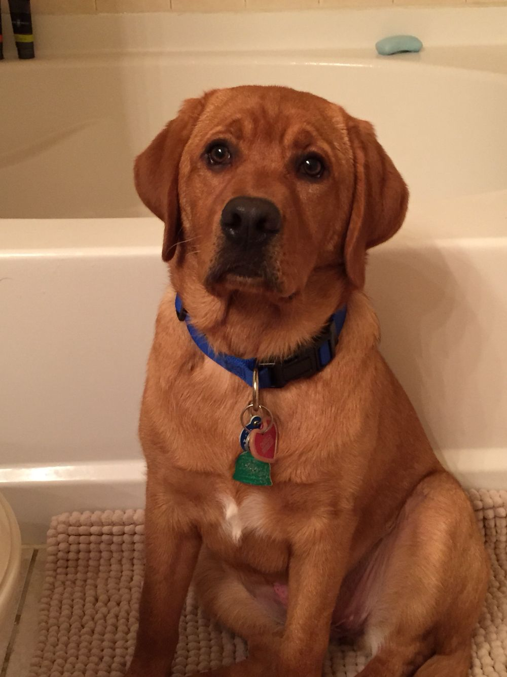 Fox Red Lab at 5 months old | | dog mama | | Fox red lab