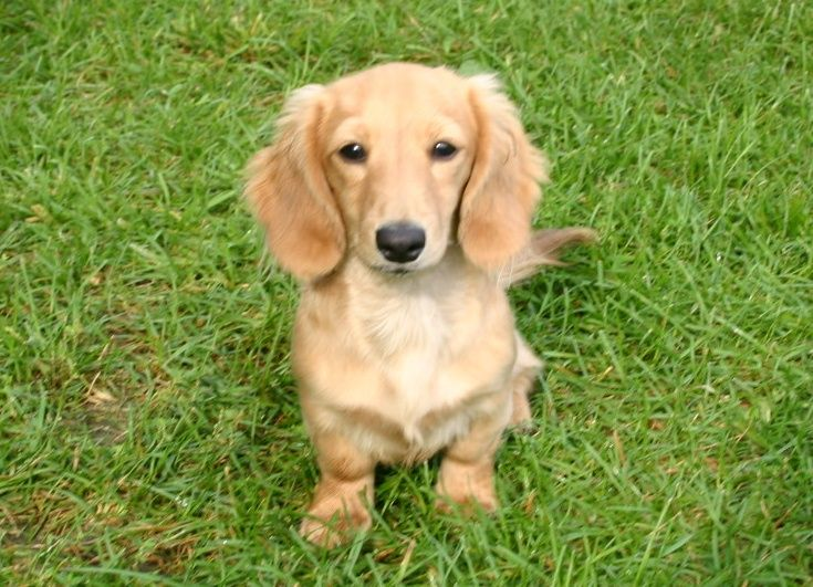 Long Haired English Cream Dachshund 3 I Ll Take One Please