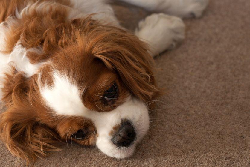 Cute king charles cavalier puppy. sweet dog, Through the
