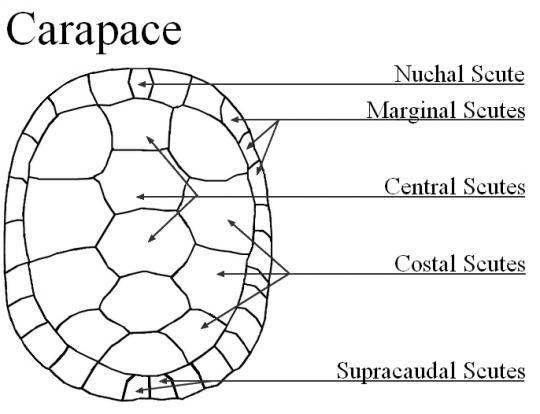 Turtle Anatomy Scienceray Anatomy Turtle Marine Biology