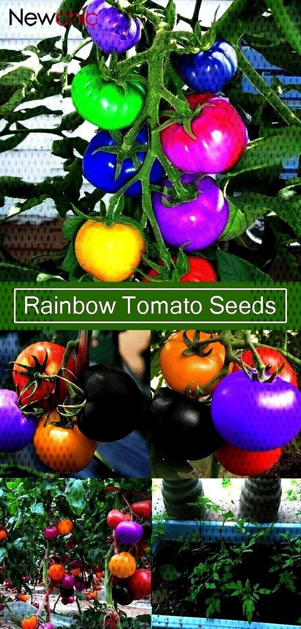Rainbow Tomato Seeds Magic Garden Colorful Bonsai Organic Ve... - 【50% off】100Pcs Rainbow Toma