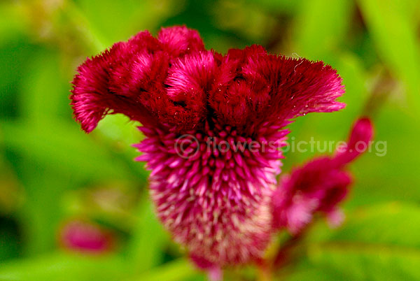 Common Name Feather Celosia Cockscomb Botanical Name Celosia Spicata Family Amaranthaceae Order Caryophyllales In 2020 Herbaceous Perennials Flowers Flower Power