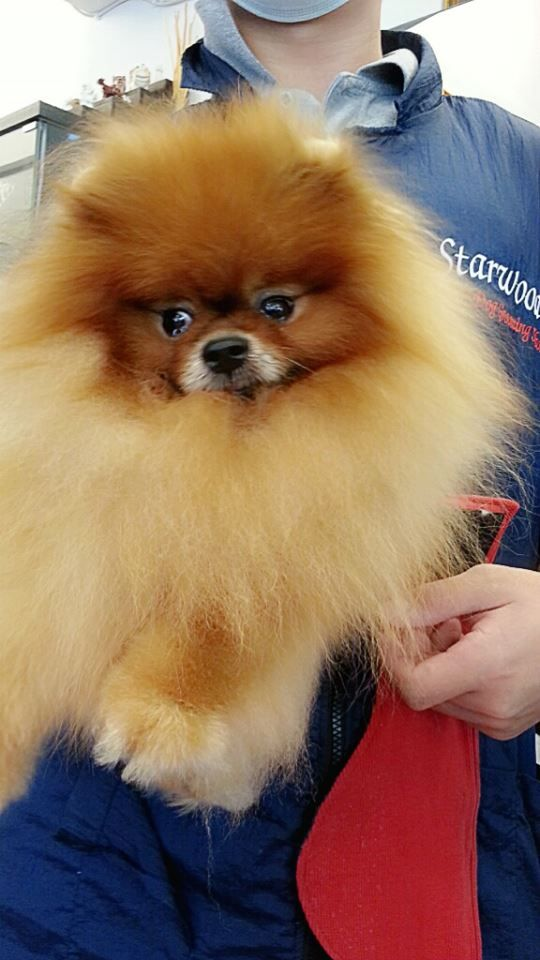 Pomeranian with a beautiful groomed