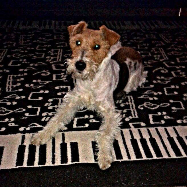 """""""Luna"""" Fox Terrier :)"""
