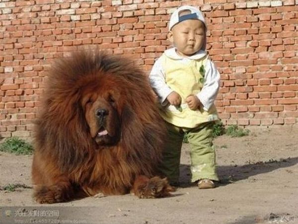 Giant dogs, Big dogs