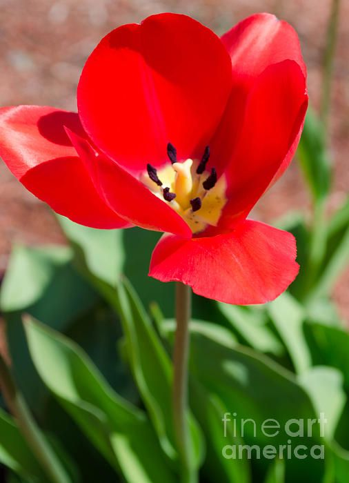 Red Tulip by Andrea Anderegg #tulip #red #flower #homedecor #artforsale #decor #nature #greetingcard #artcollector #closeup