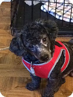 Pictures Of Joey A Poodle Miniature For Adoption In St
