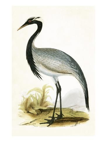 Giclee Print: Numidian Crane, from 'A History of the Birds of Europe Not Observed in the British Isles' by English : 24x18in #britishisles