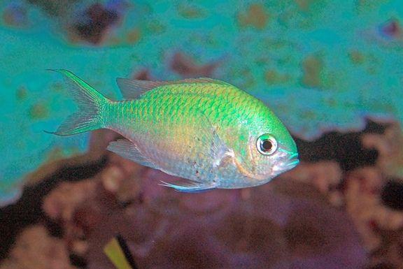 Blue Green Chromis Tropical Fish Blue Green Reef Aquarium