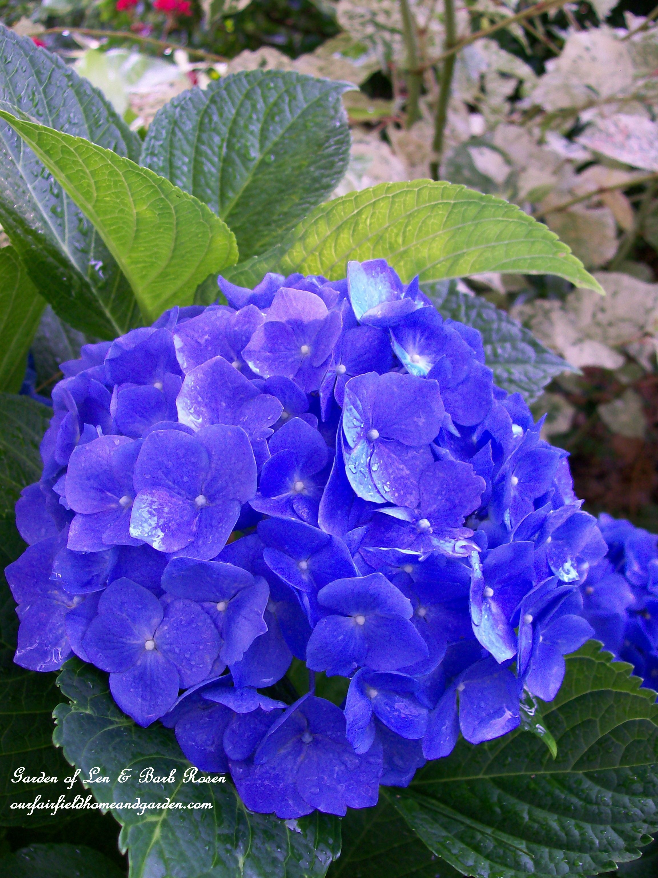 Hydrangea Nikko Blue Garden Of Len Barb Rosen Ourfairfieldhomeandgarden