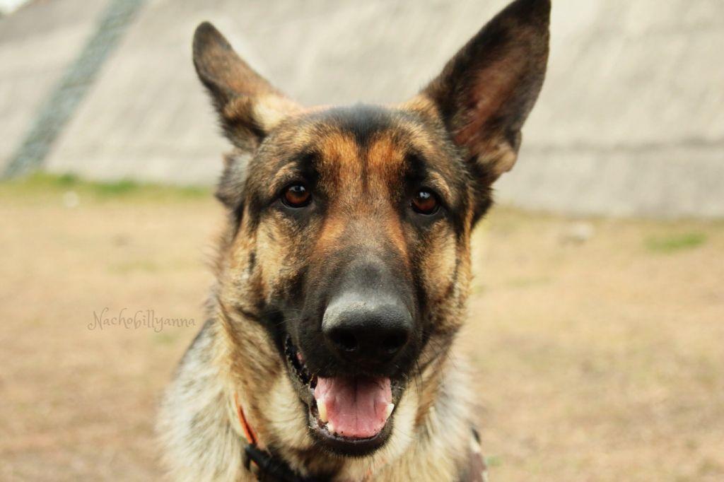 Nachobillyanna photography found on facebook, youtube, and Flickr . #jakethechubchub #gsd #german #germanshepherd #shepherd #cute #happy #gsdpost #germanshepherdonline #gsdpuppy #dog #big #training #bigdog #animal #pet #black #犬 #イヌ #シェパード #ジャーマンシェパード #大型犬 #大きい #silly