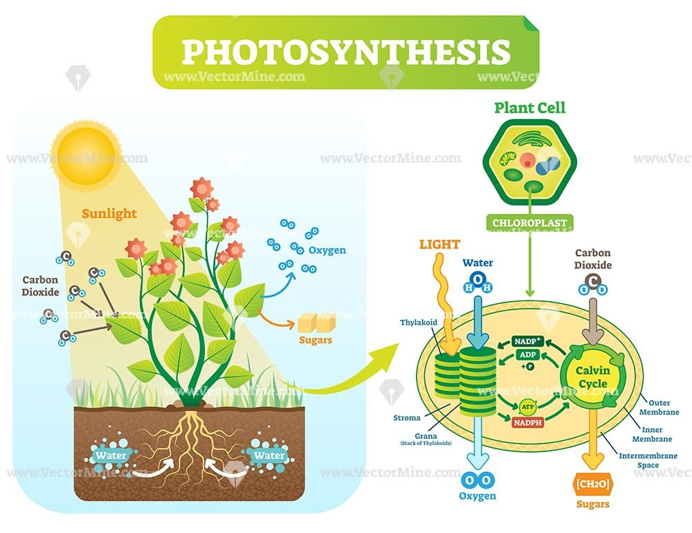 Photosynthesis Biological Vector Illustration Diagram Photosynthesis Photosynthesis And Cellular Respiration Photosynthesis Lessons