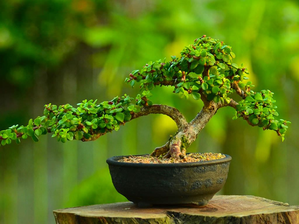 How to Grow and Care for an Elephant Bush (Portulacaria afra): The home interior is an excellent place to grow Elephant B… | Bonsai forest, Jade bonsai, Bonsai tree