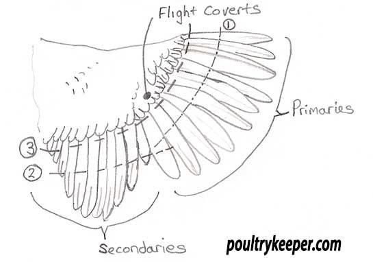 chicken wing diagram wing clipping diagram