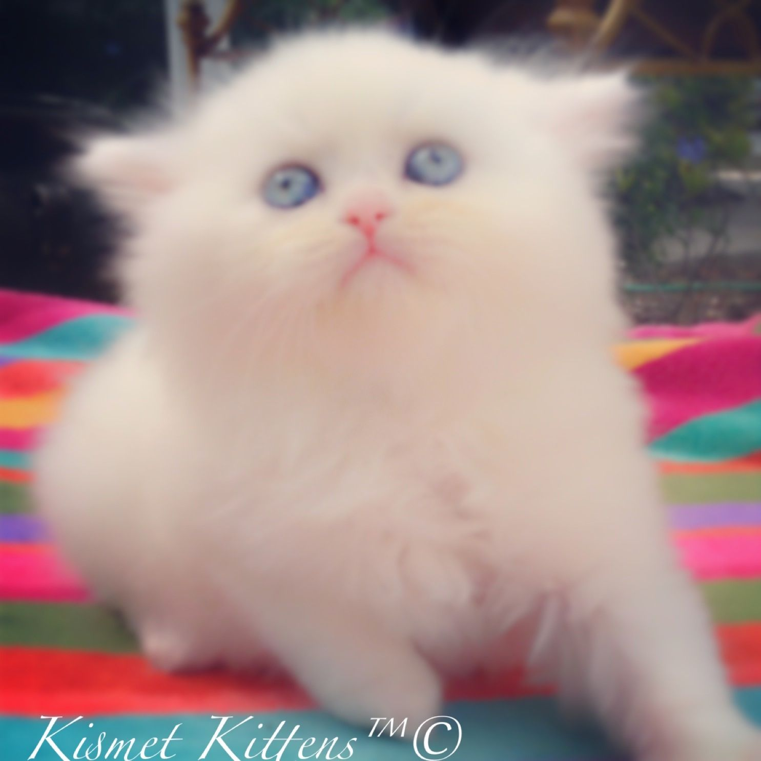 For Sale White Doll Face Kitten Male With Blue Eyes Ready To Go Mid January This Beautiful Boy Will Be Featured In A Tv Commercial To Reserve 813 409 84