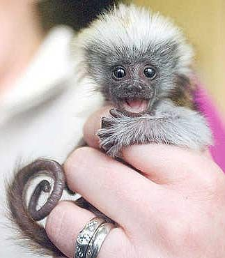 cotton top tamarin I WANT ONE