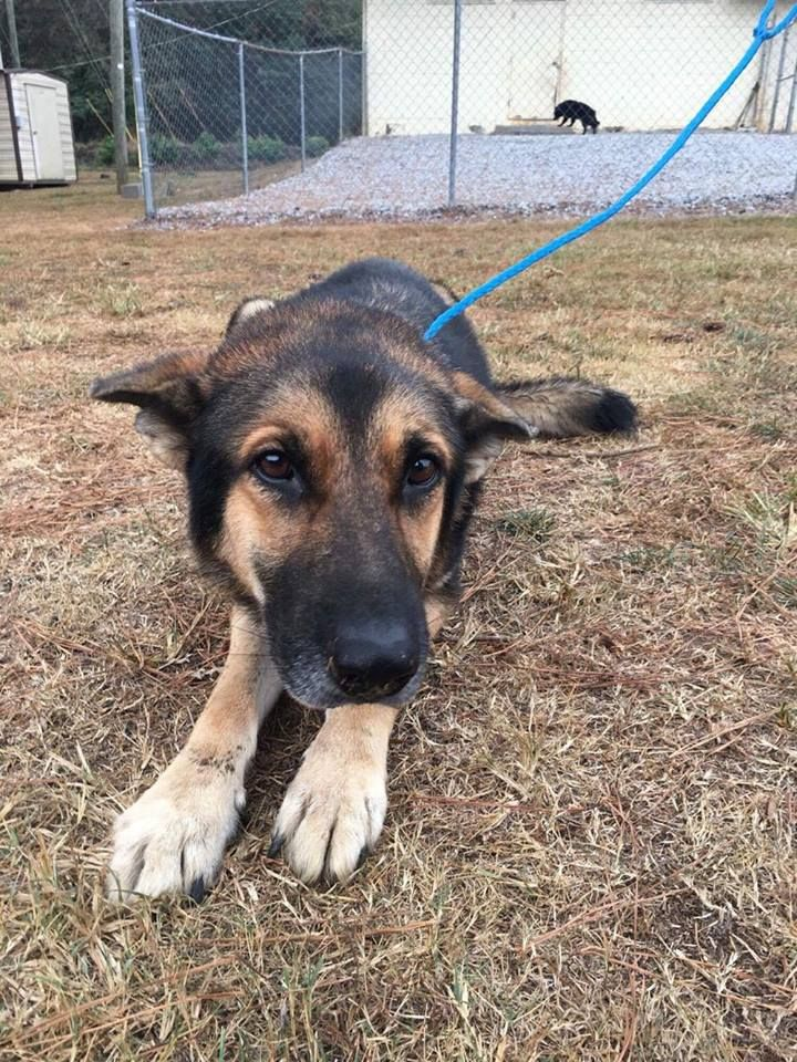 Emaciated Shepherd Dumped Because Family Said He Was Too Old