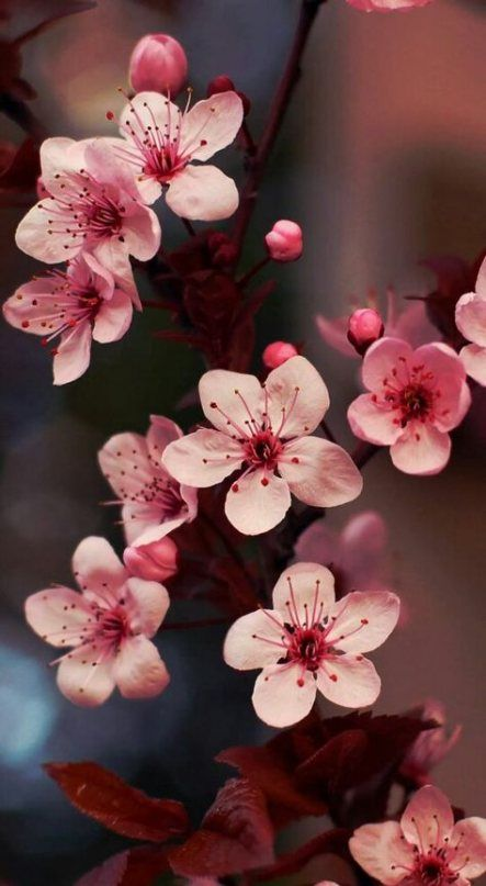 Cherry Blossom Tree Photography Plants 54 Ideas Flower Phone Wallpaper Flower Aesthetic Flowers