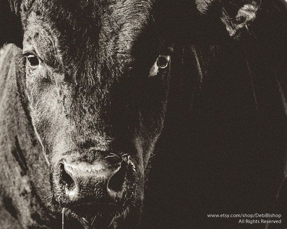 Big Black Angus Bull Closeup -Farm Ranch Animal -Cattle -Black & White…