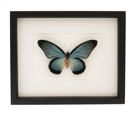 Bug Under Glass: Giant Blue Swallowtail SPECIES: papilio zalmoxis LOCALITY: Africa