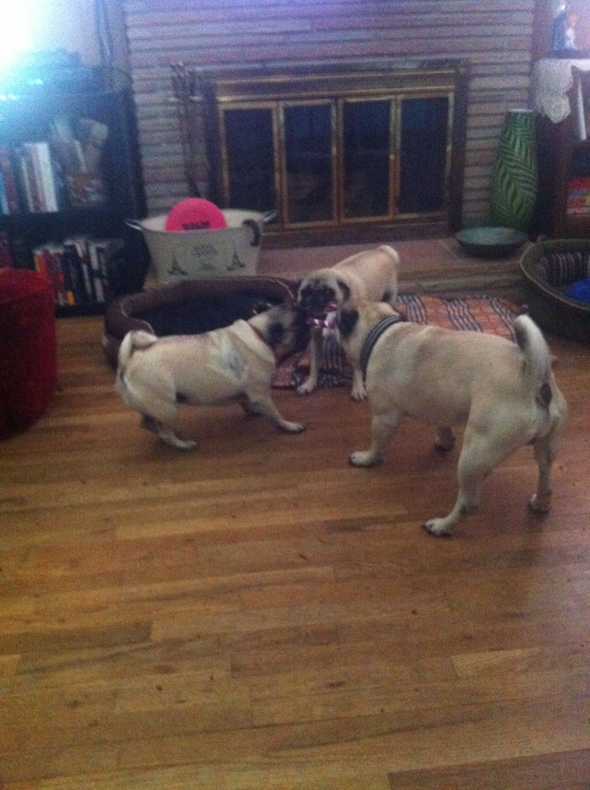 Pugs Playing Tugowar Needless To Say Our Foster Pug Vinnie Wins