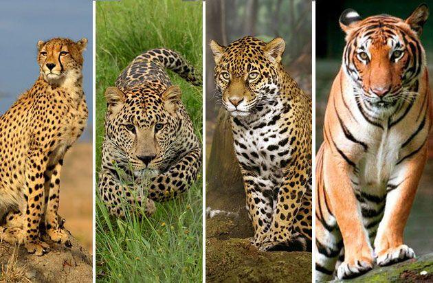 en que se diferencia el leopardo del gepardo? - forocoches