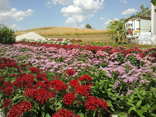 Kansas City Botanical Gardens >> Butterfly Fuel Aka Pentas At Powell Gardens Kansas