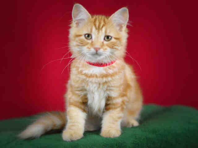 ID#A455682  I am described as a female, orange tabby Domestic Longhair.  The shelter thinks I am about 4 months old  I have been at the shelter since Oct 08, 2015 and I am available for adoption now!  If you think I am your missing pet, please call or visit right away.  For more information about this animal, call: Moreno Valley Animal Shelter at (951) 413-3790  ID number A455682