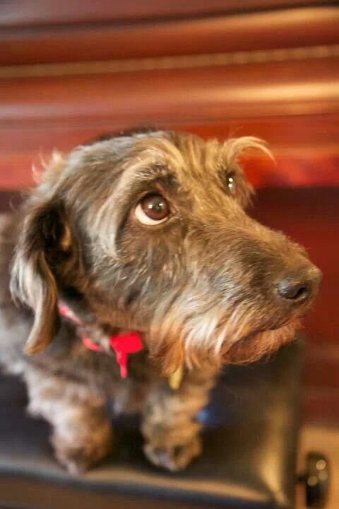 Frank the wire haired jackshund