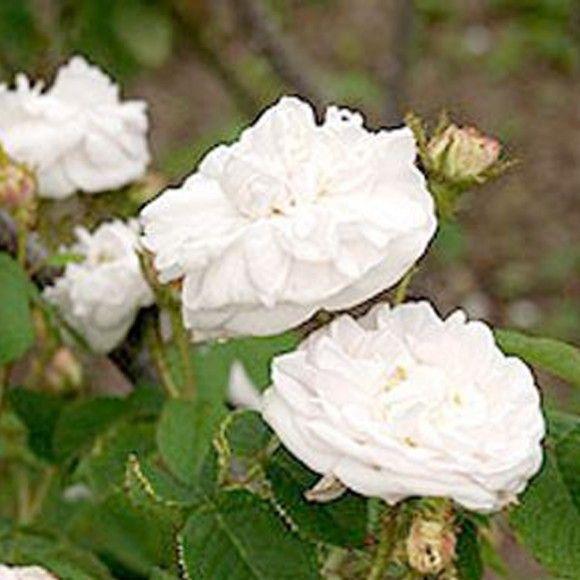 comtesse de murinais roses pinterest rosier rosiers. Black Bedroom Furniture Sets. Home Design Ideas
