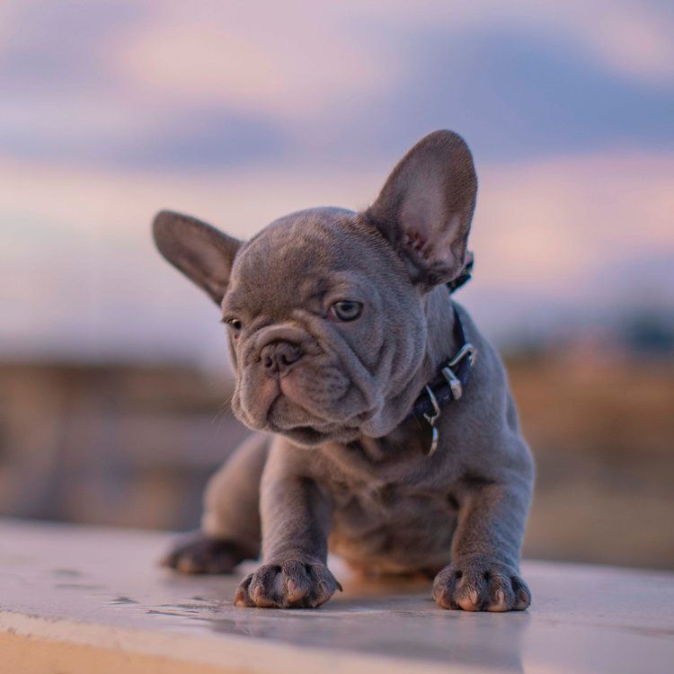 Reserved Lilac Male French Bulldog Puppy For Sale French