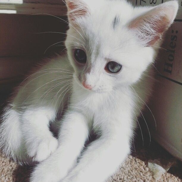 My Lovely Little Fluffy White Kitten With Blue Grey Eyes Pretty Cats Kittens Cutest Grey Kitten