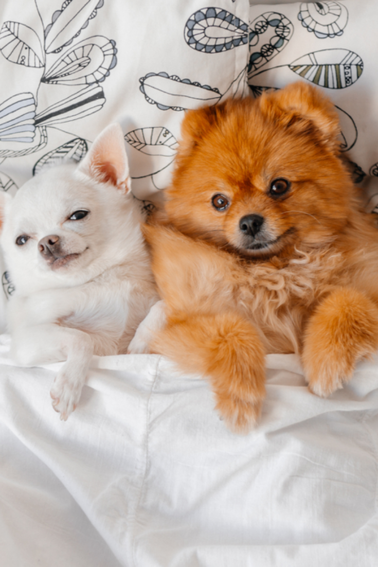 Cute Funny Pomeranian Puppy Lying On Back Together With Little Chihuahua On White Pillows On Bed Under Blanket And Looking Chihuahua Pomeranian Puppy Puppies