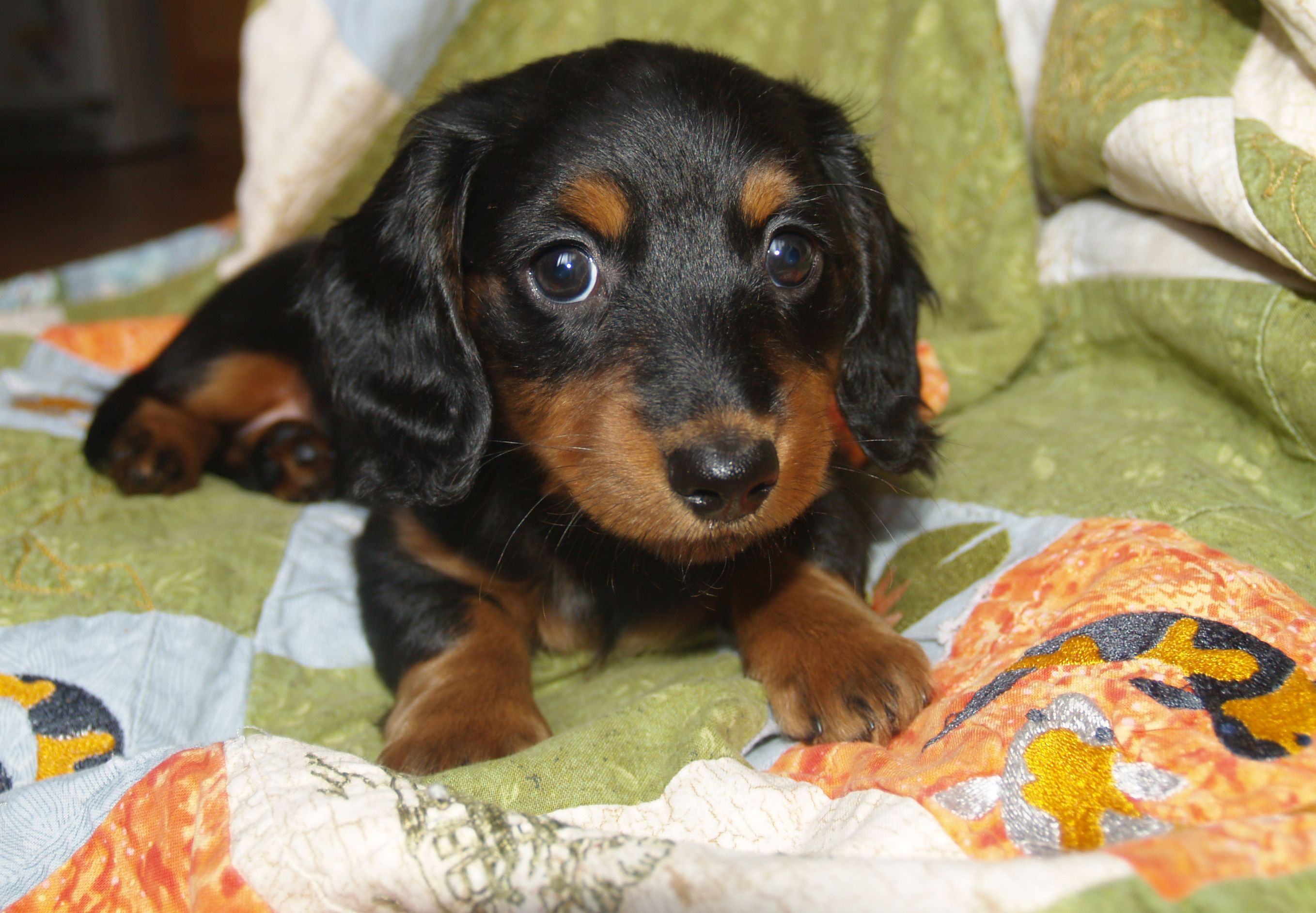 Bonnie Long Haired Black Tan Mini Dachshund 7 Weeks Old Mini