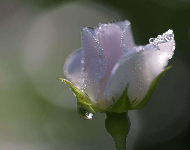 Картинка цветок плачет
