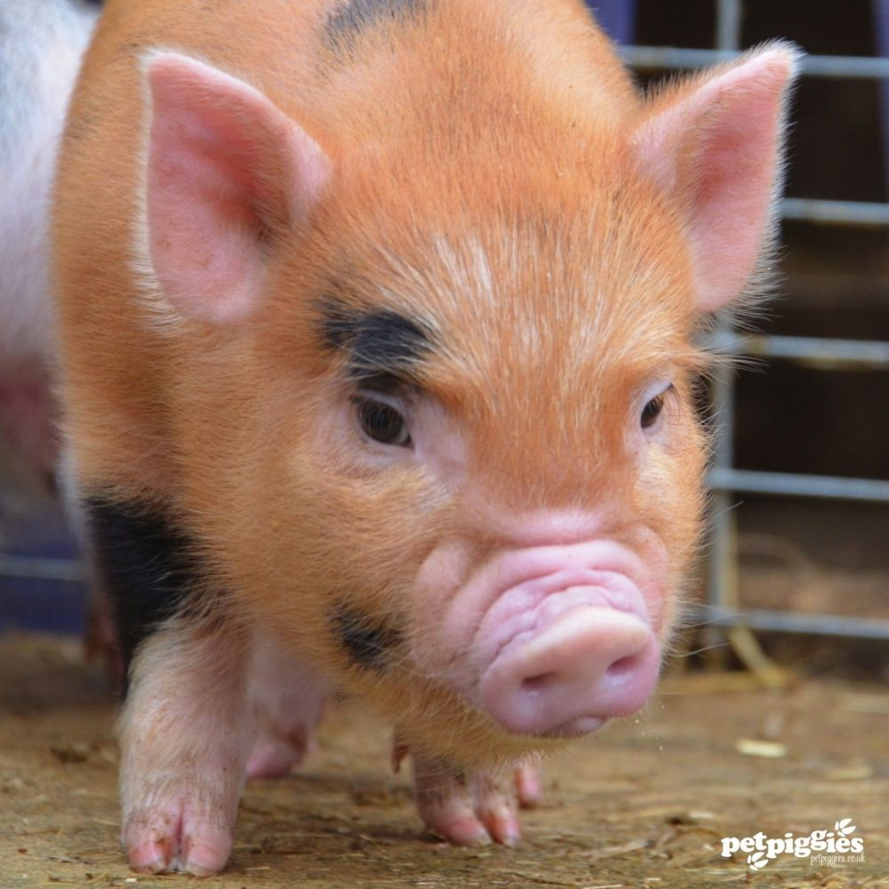 mini pigs as pets for sale