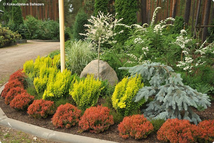 Blue Spruce Coloring Tips Food Barberry Bush Red Plants House