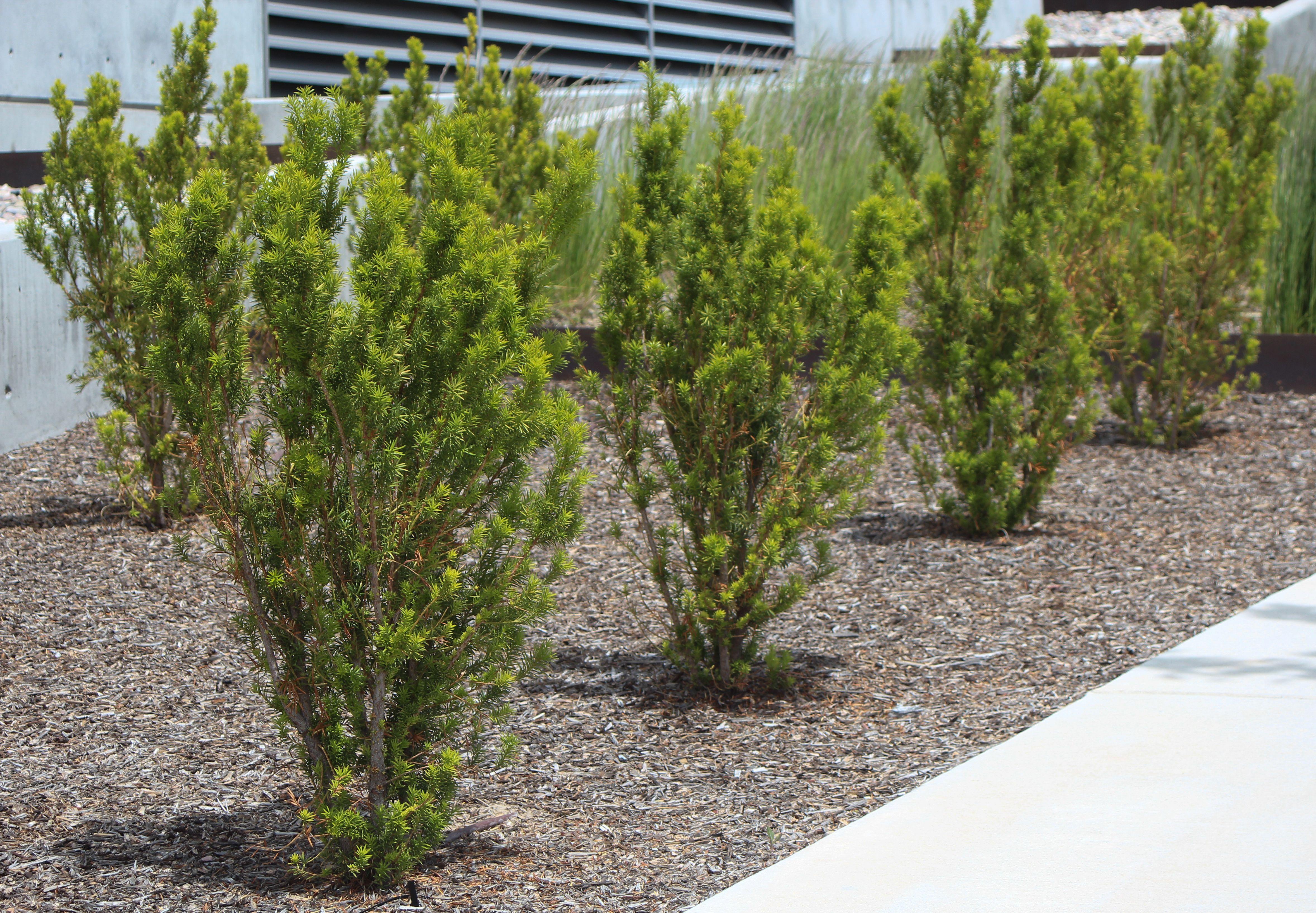 Citation Yew Evergreen Hedges Plants