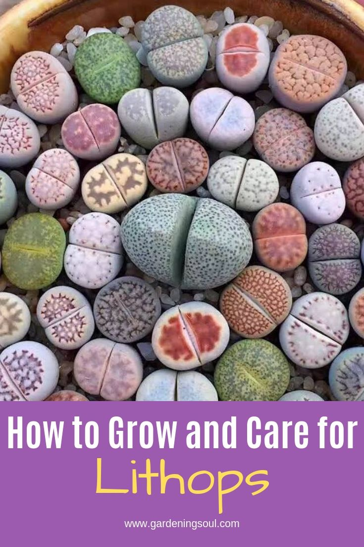 How to Grow and Care for Lithops #succulents