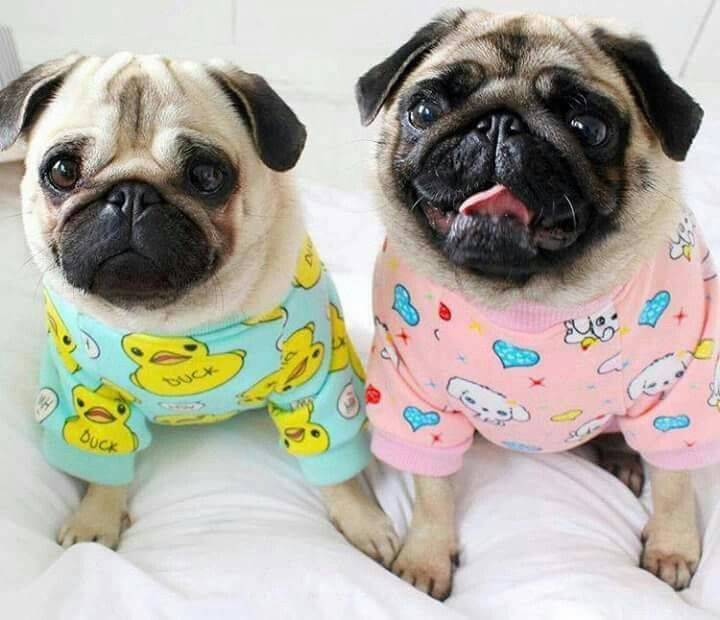 Pin By Nathalie On Cute Dogs Pugs Funny